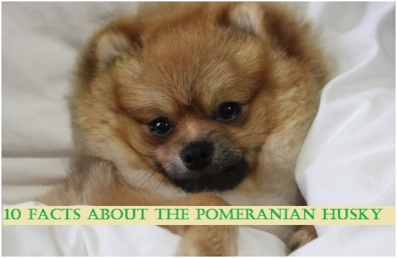 10 Interesting Facts About Teacup Pomeranians - Thrive Global
