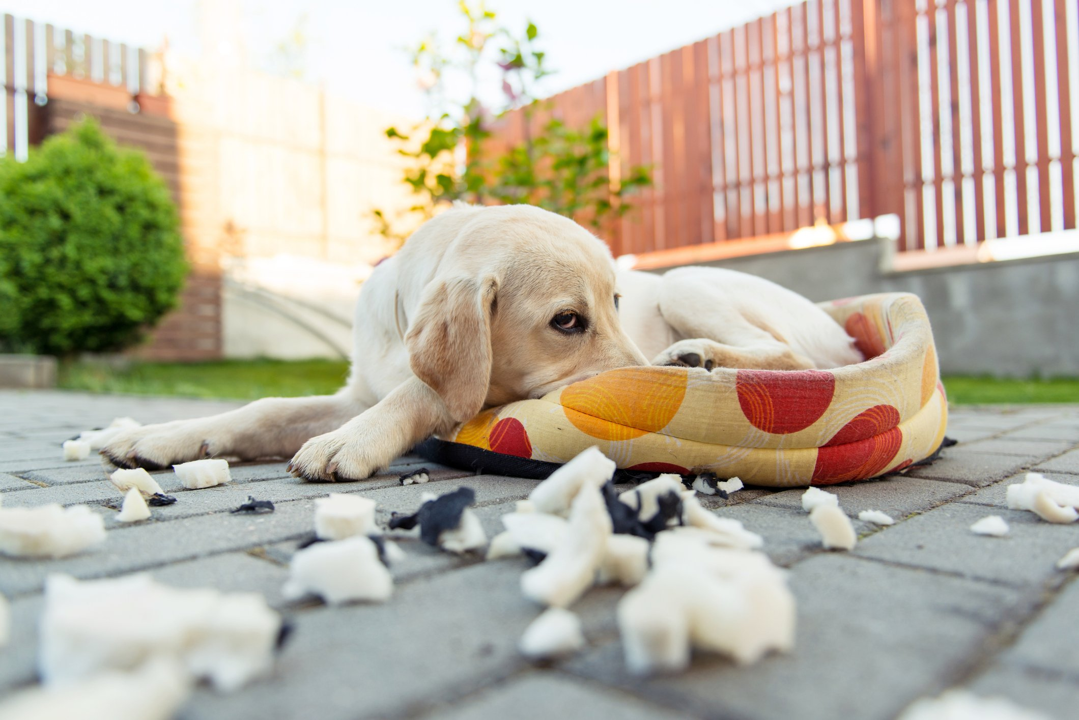 Image of a yellow labrador retriever junior dog trying  to hide after he teared apart his pillow in backyard.