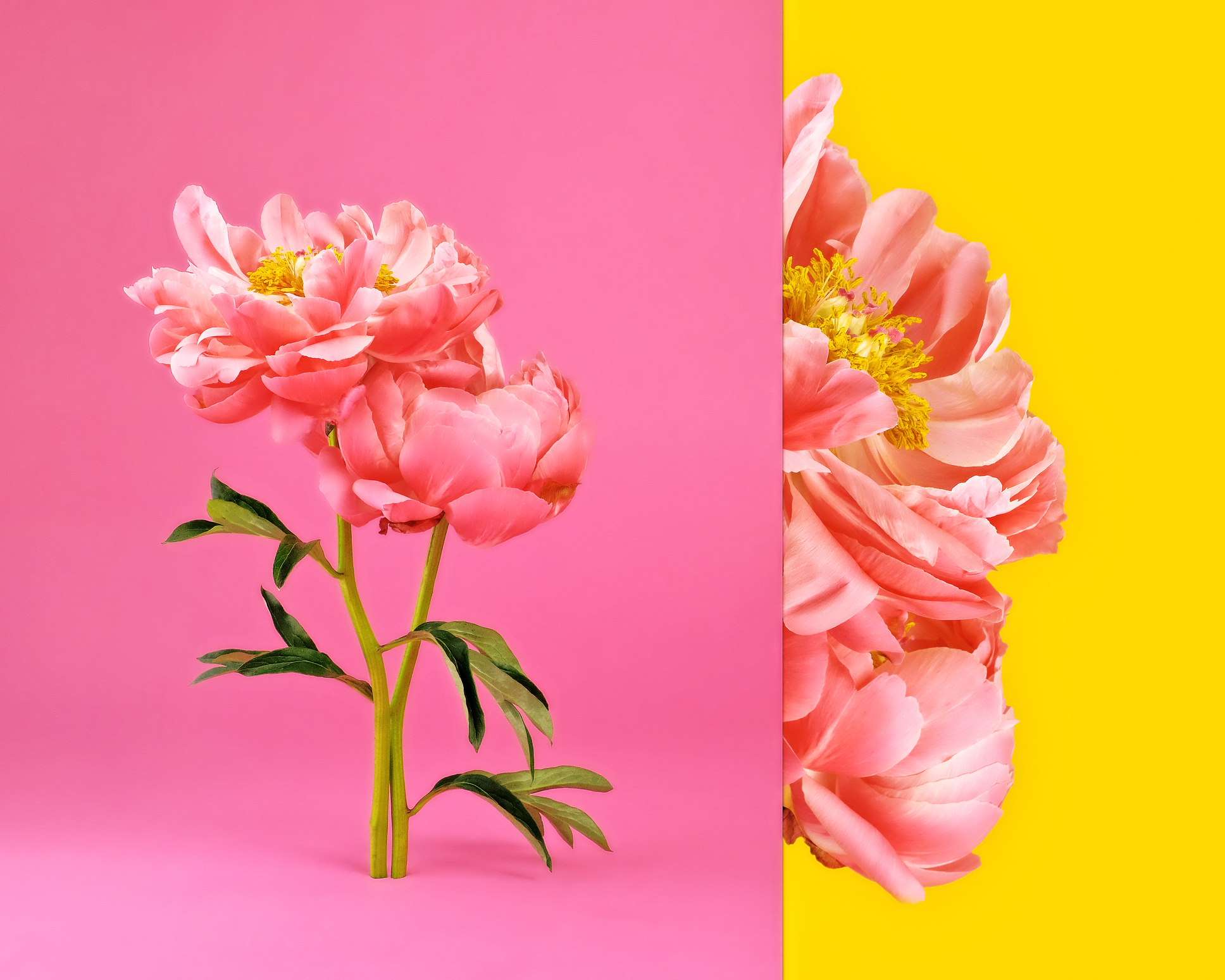 Side by side composite image of pink peonies in bloom with pink and yellow background.