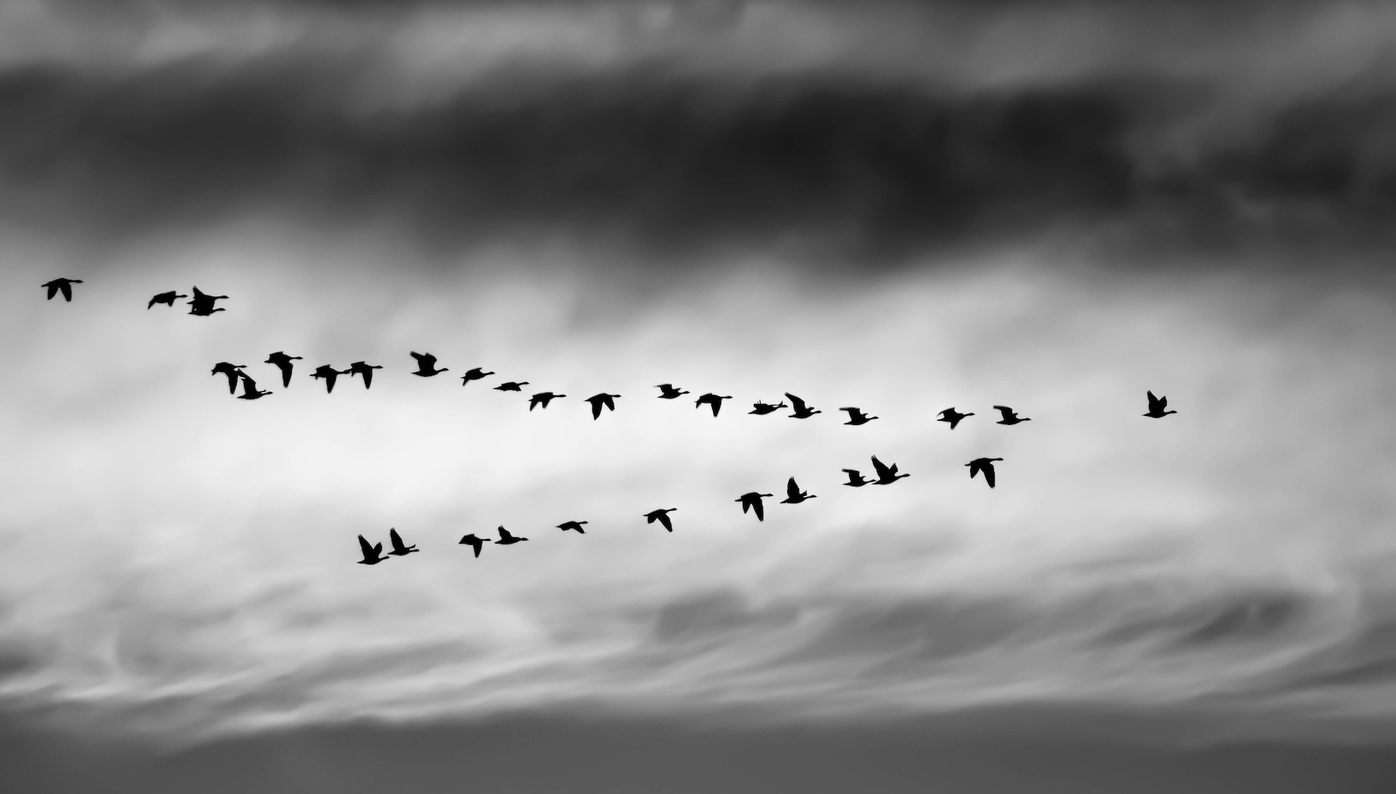 a flock of birds flying in a v-shaped formation
