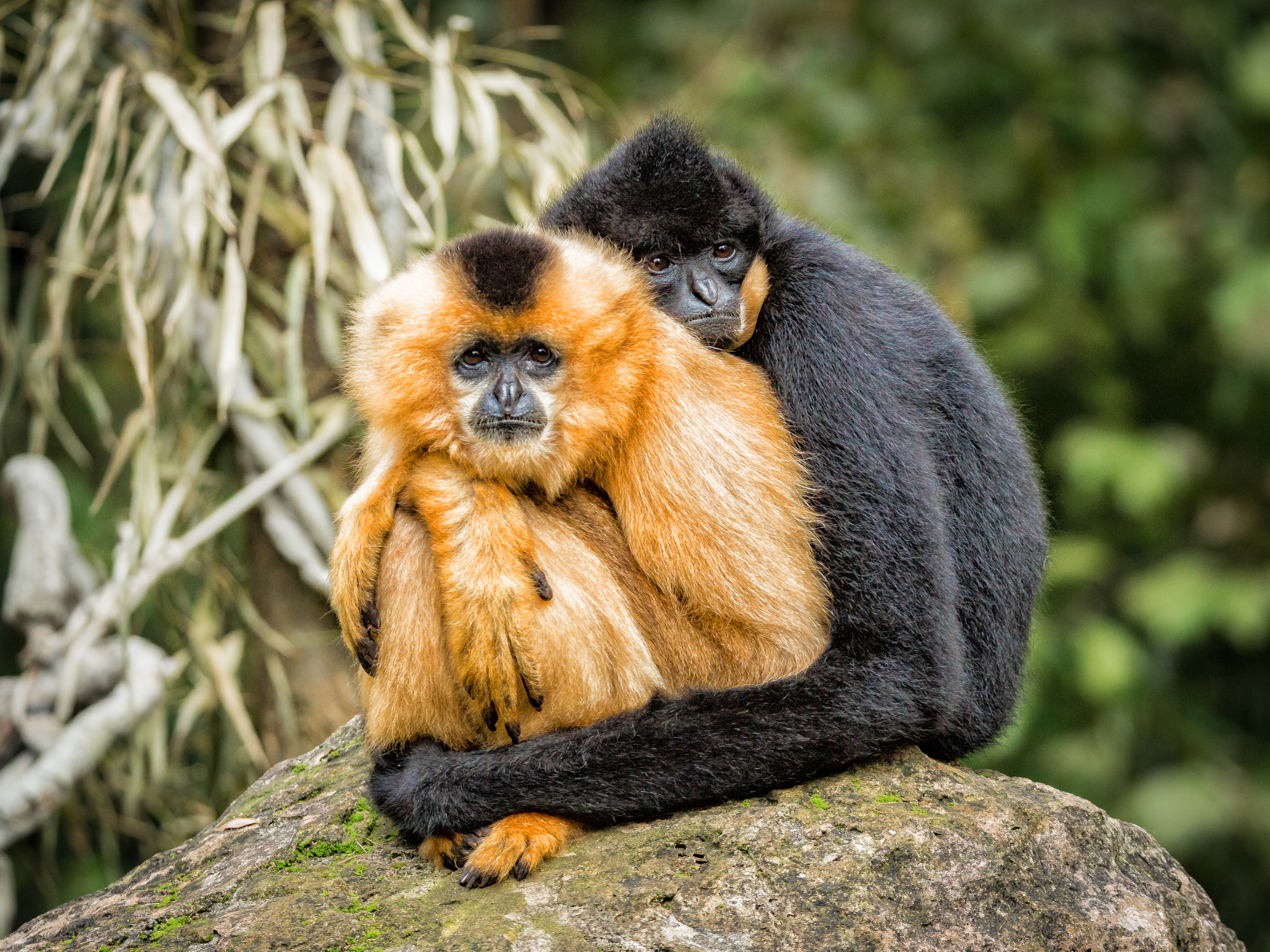 Gibbons, a type of ape, mate for life. (Rüdiger Katterwe / EyeEm/ Getty Images)