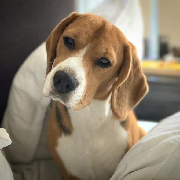 Social Media Saves Beagle