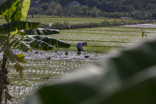 Person working on a rice field. Image courtesy of Unsplash.