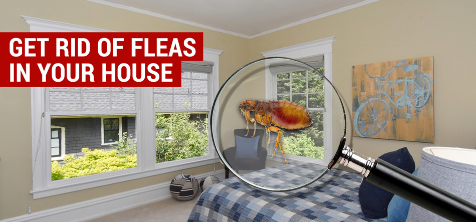 Getting Rid of Fleas in the Home
