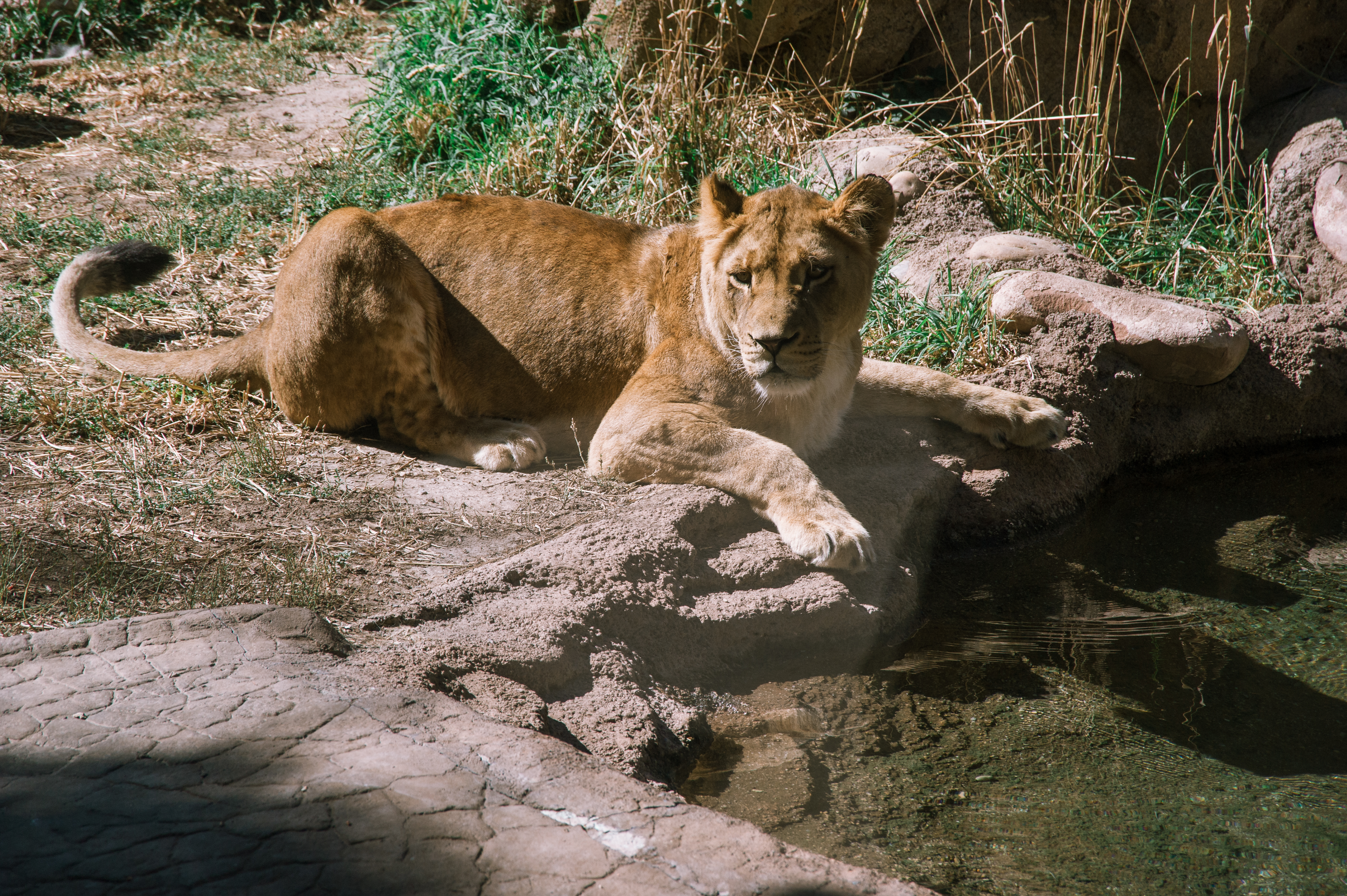 a lionness stares speculatively across a small man made pond