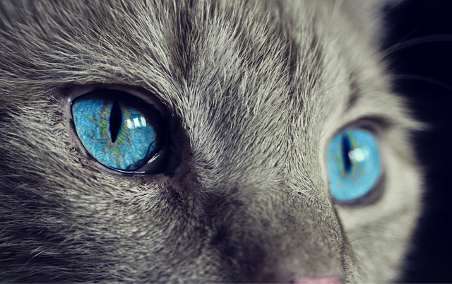 Gray cat with bright blue eyes