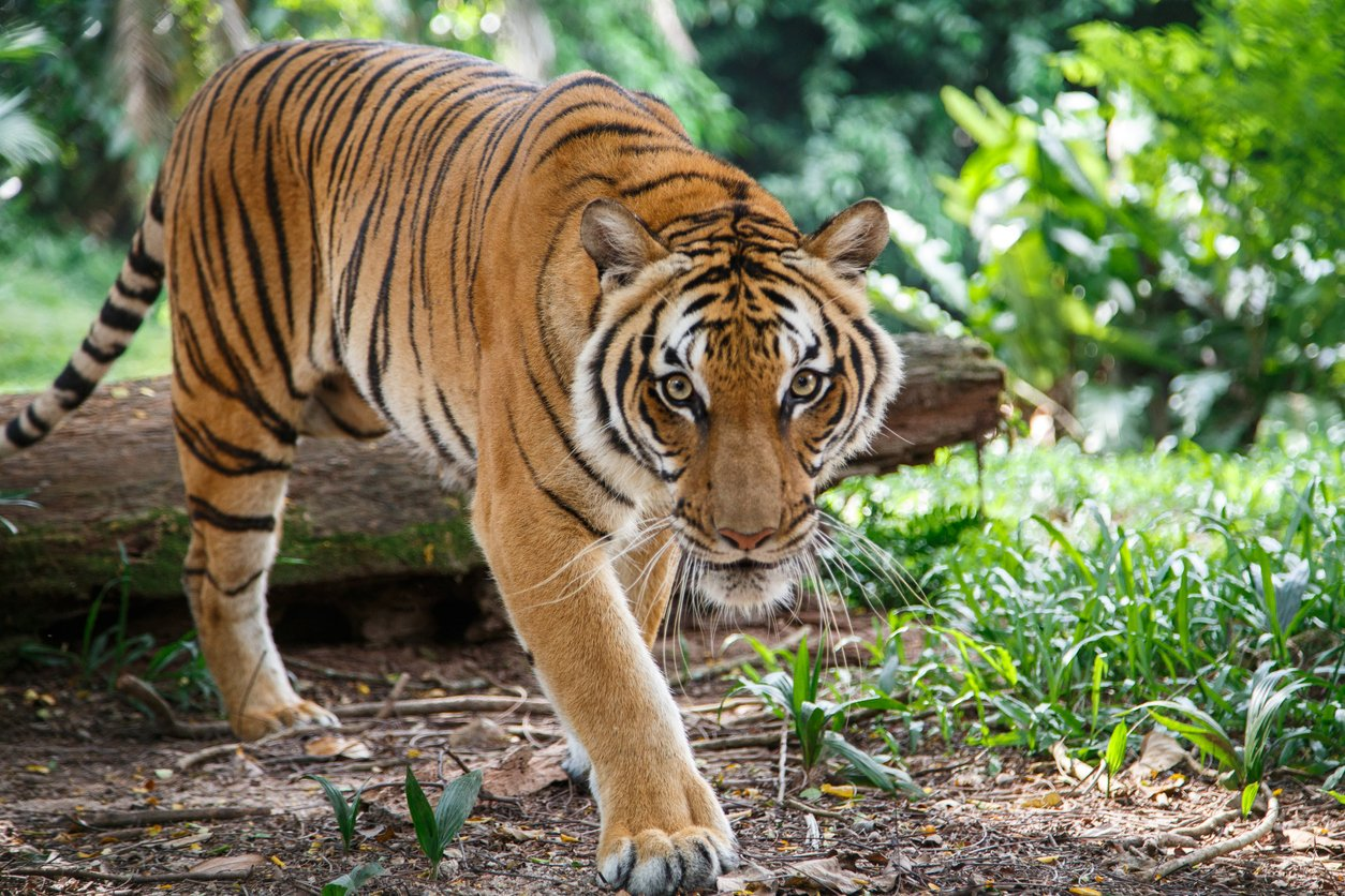 Malayan tiger in the natural background of a tropical forest of Malaysia is walking towards the camera and a viewer looking straight ahead