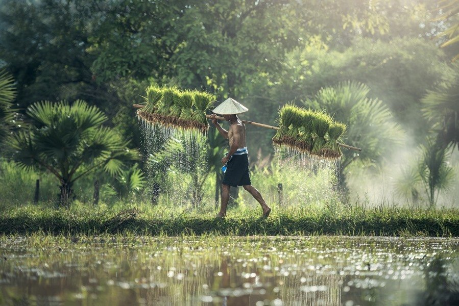Rice farmer carrying harvest on his shoulder