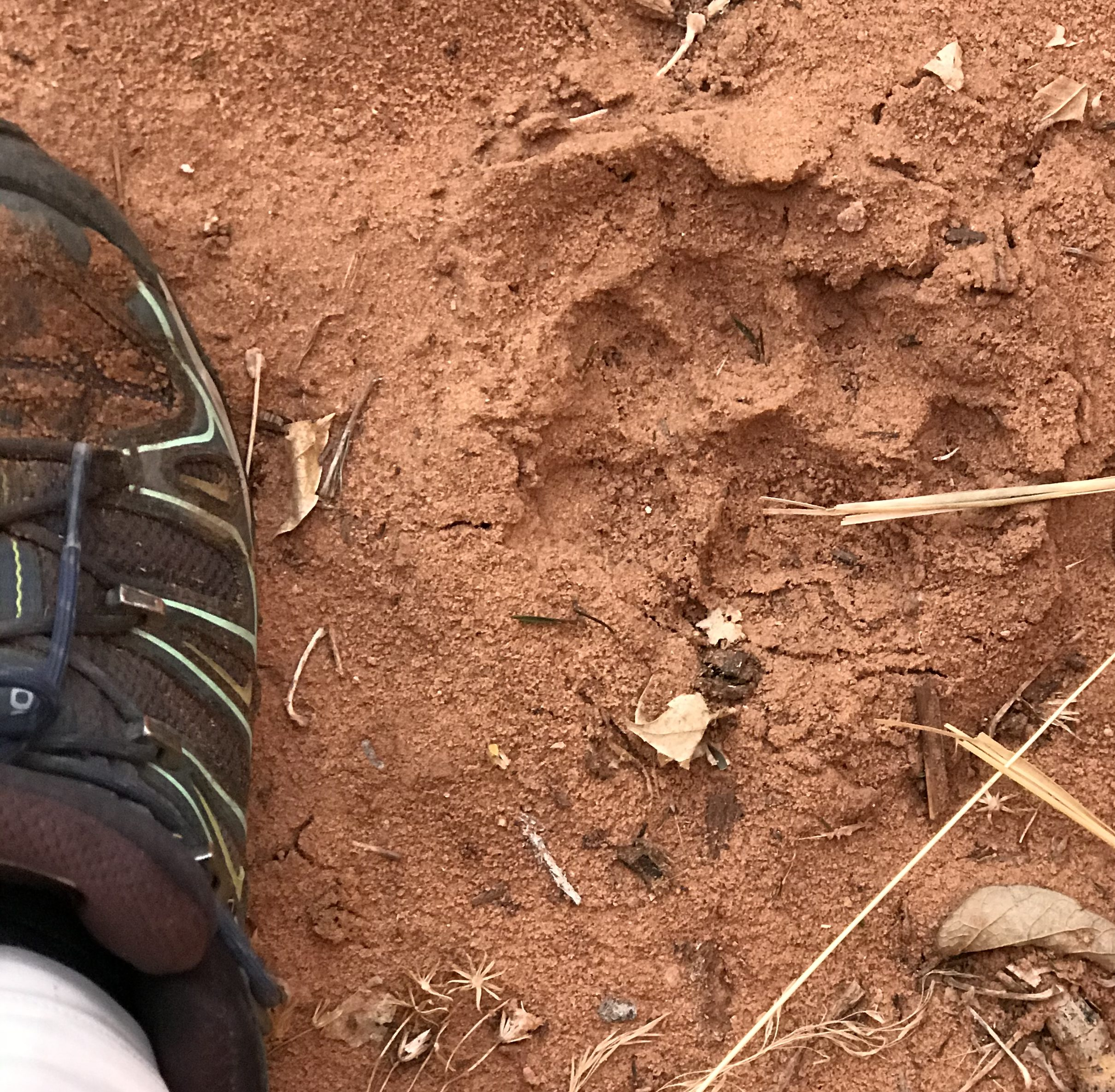mountain lion track in Zion National Park, Utah