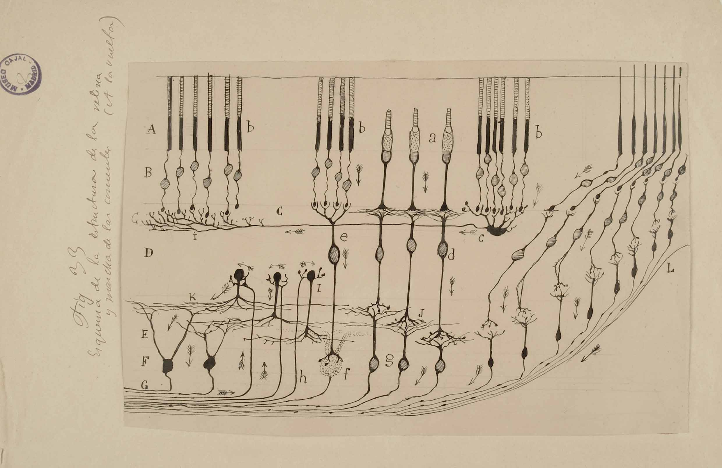 Illustration of neurons by Santiago Ramon y Cajal; courtesy of the Cajal Institute and the Spanish National Research Council.