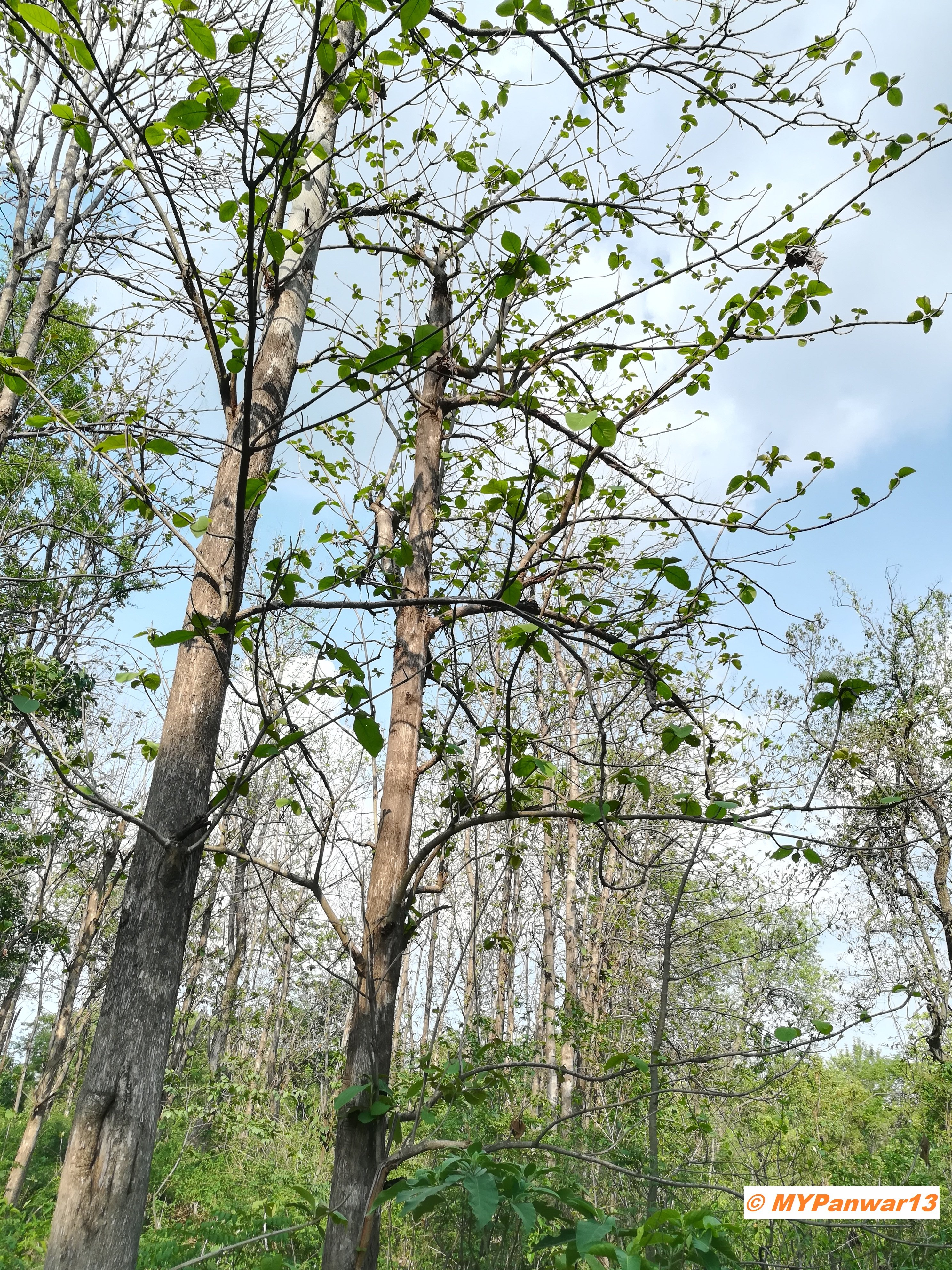 Leaves budding on the trees in the forest in spring season (pic taken by @MYPanwar13 in Dehradun, India