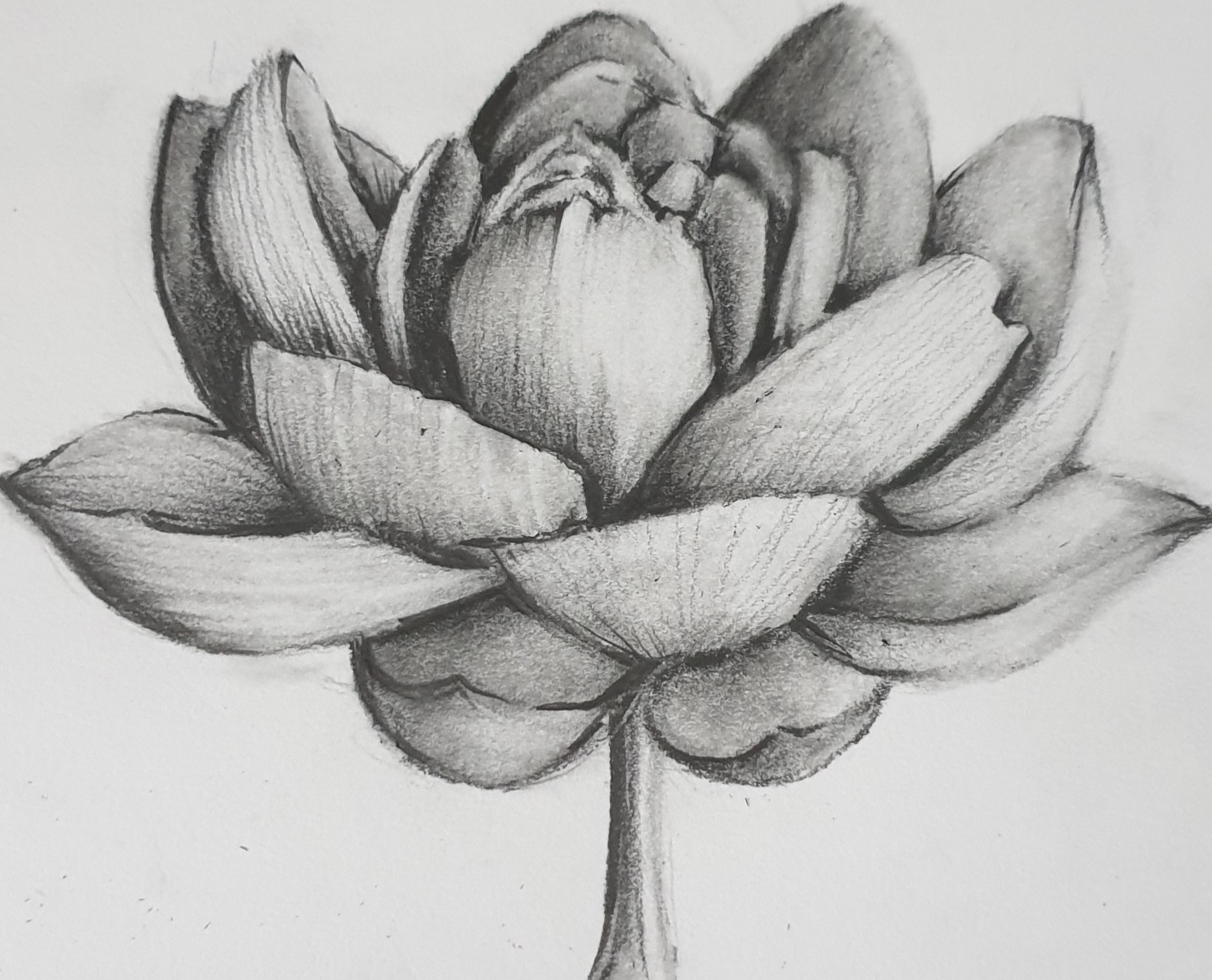 Lotus Flower Pencil Drawing by Shirley Blanch
