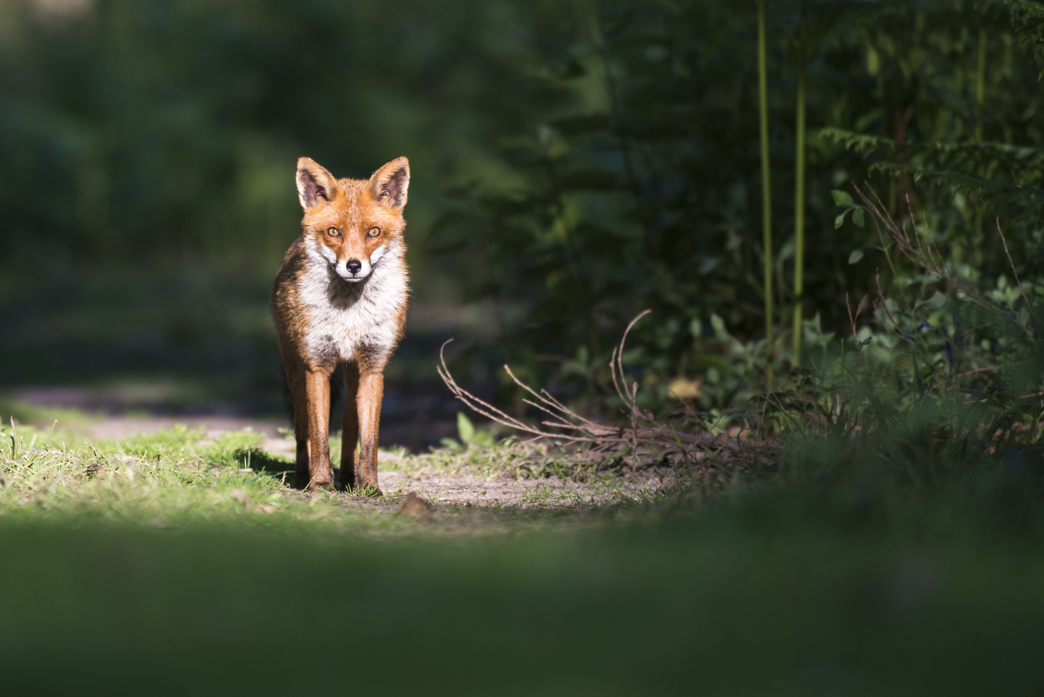Red fox on forest track (Vulpes vulpes), Ashdown Forest, Sussex, England