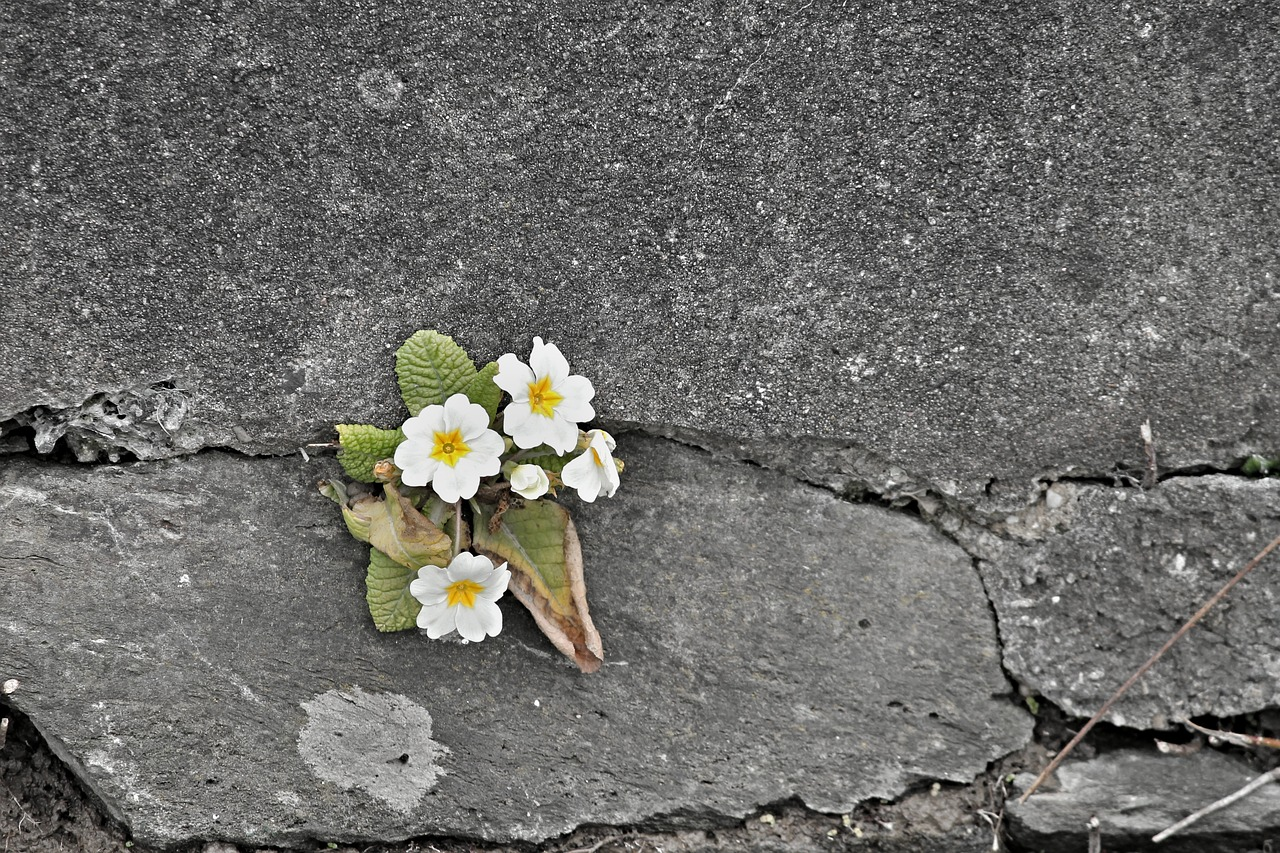 Tiny white flowers that grew on the crack of concrete wall