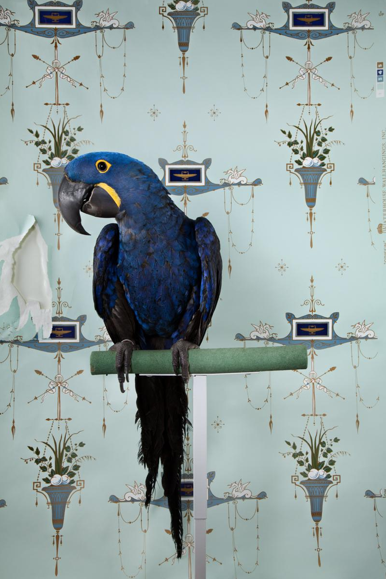 """""""Hyacinth Macaw"""" by SCAD alumna Claire Rosen (B.F.A., photography, 2006)"""