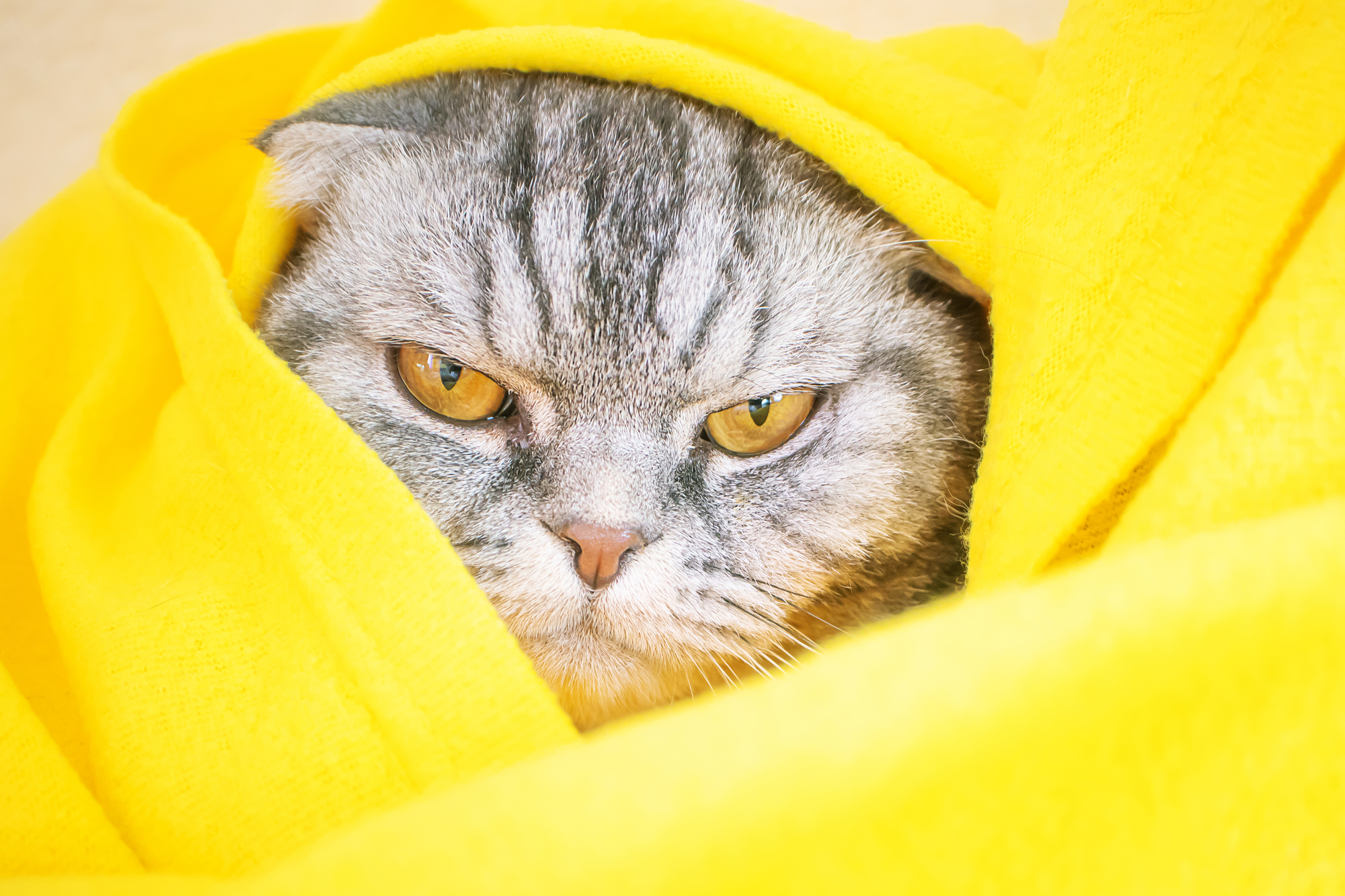 A sleepy gloomy displeased gray Scottish fold cat with yellow eyes lies on the bed.