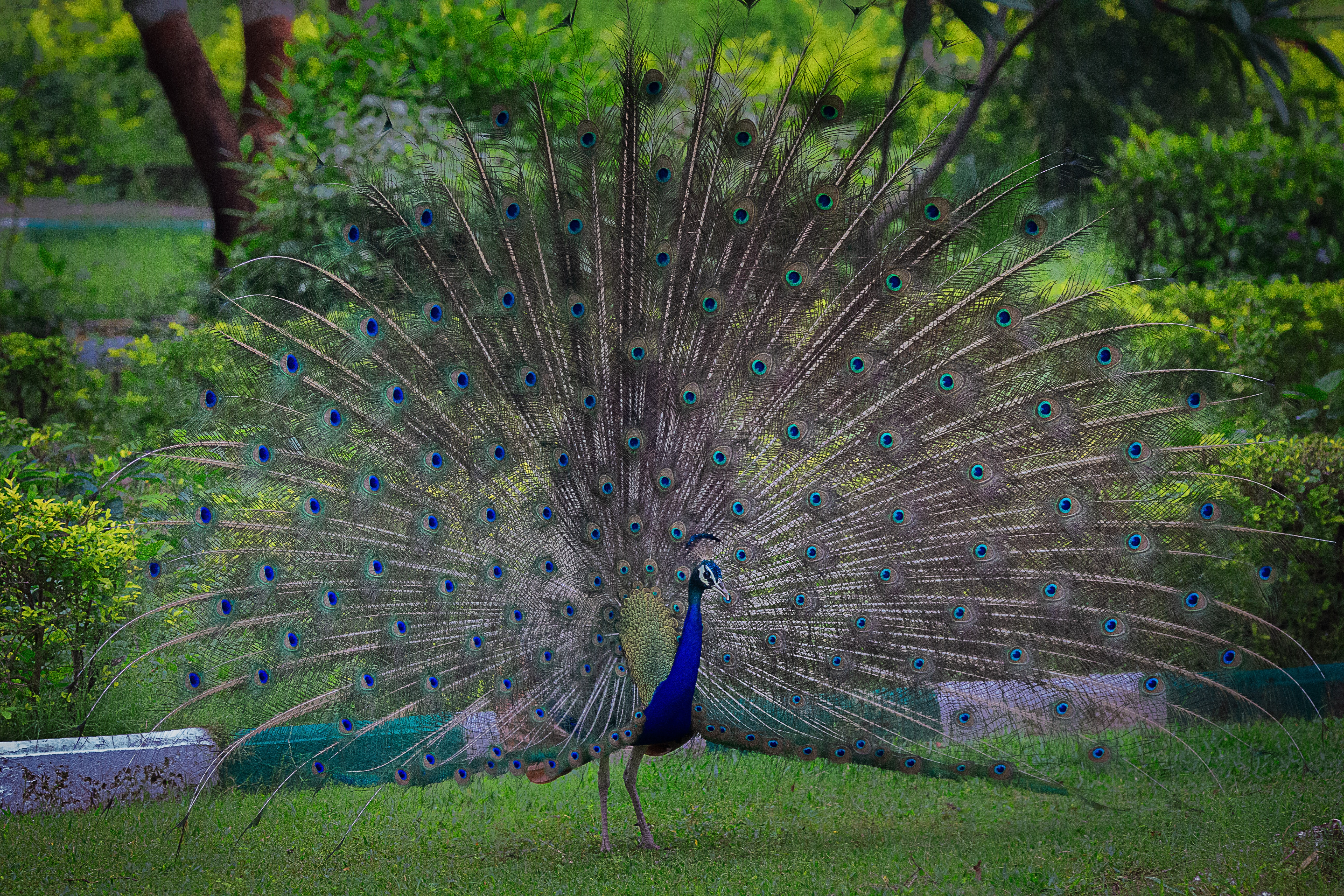 A graceful walk like that of the peacock
