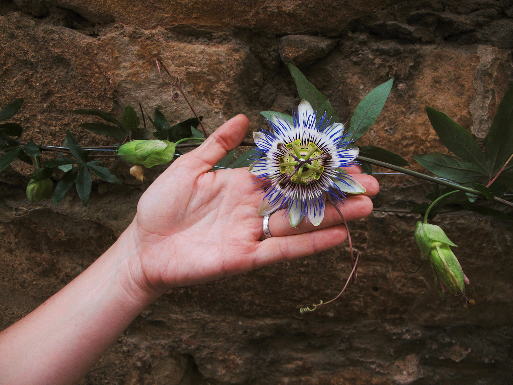 Passion flower is a superb healing plant that works with the nervous system.