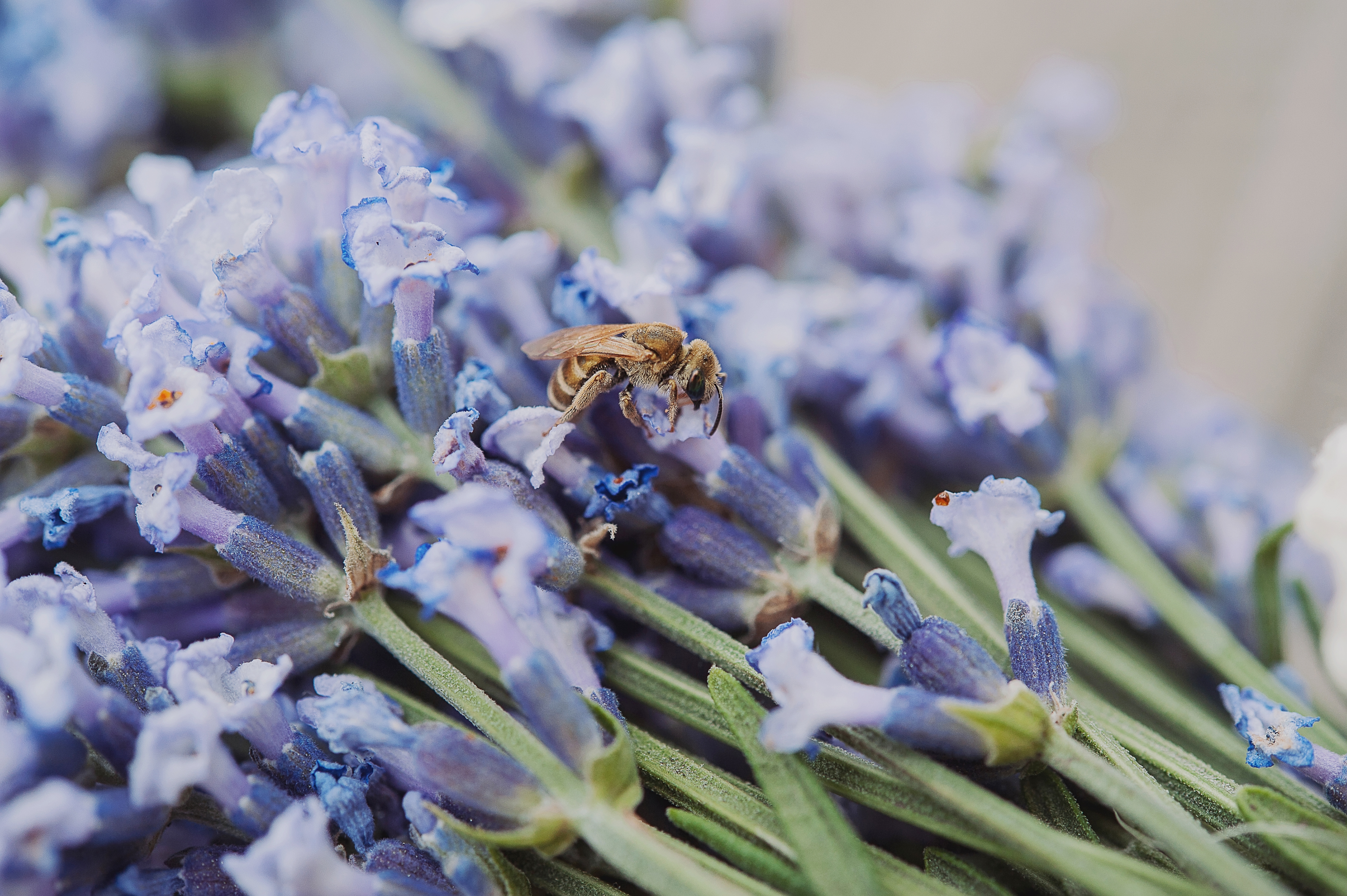 beautiful purple lavender flowers on a wooden table and a bee